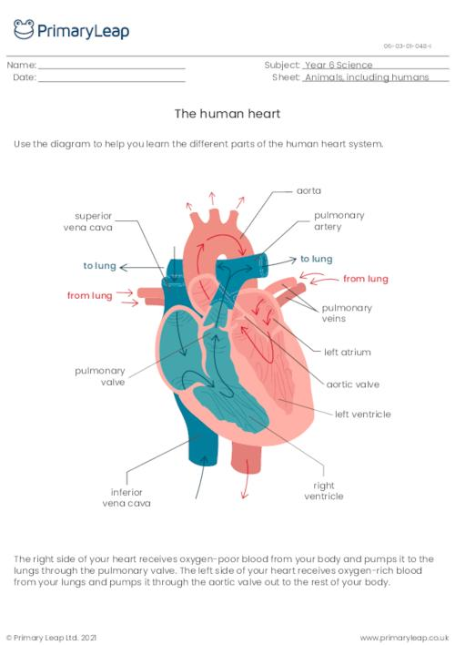 The human heart system