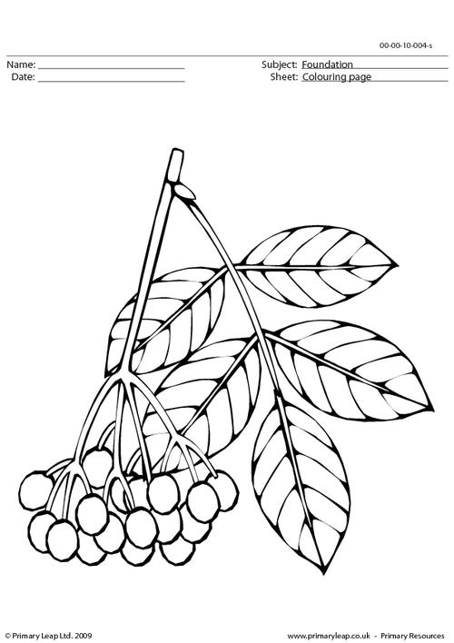 Elderberries colouring page
