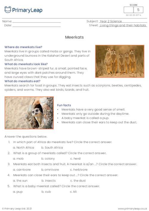 Meerkats comprehension