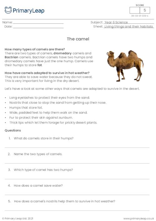 Reading comprehension - The camel