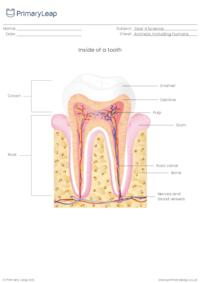 Inside of a tooth diagram