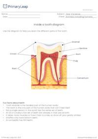 Inside a tooth diagram