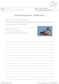 Researching Animals - Mallard Duck