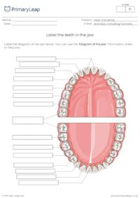Label the teeth in the lower jaw