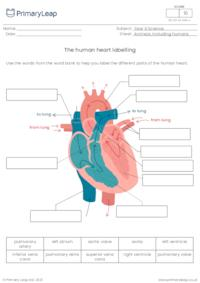 Label the human heart