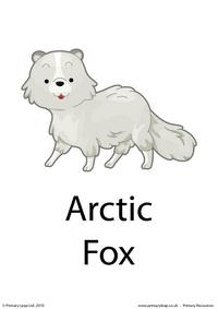 Arctic fox flashcard