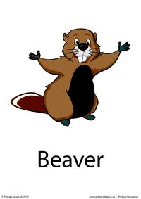 Beaver flashcard 1