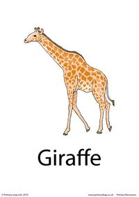 Giraffe flashcard 1