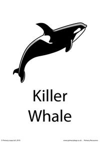 Killer whale flashcard