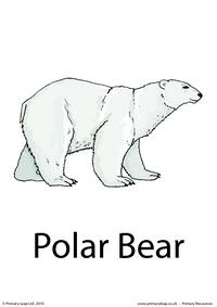 Polar bear flashcard 2
