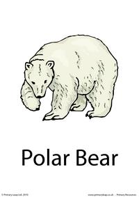 Polar bear flashcard 3