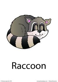 Raccoon flashcard 3