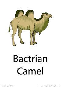 Bactrian camel flashcard