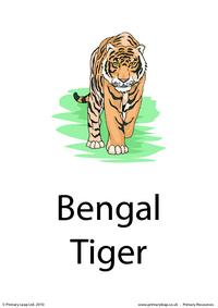 Bengal tiger flashcard