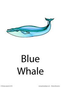 Blue whale flashcard