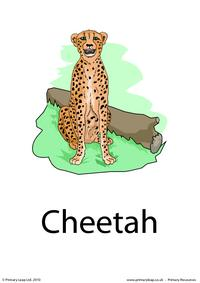 Cheetah flashcard