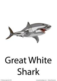 Great white shark flashcard 1
