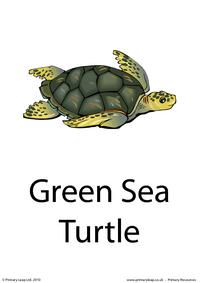 Green sea turtle flashcard