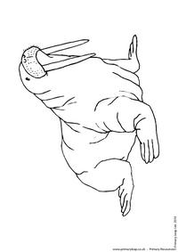 Walrus colouring page