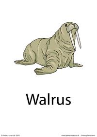 Walrus flashcard